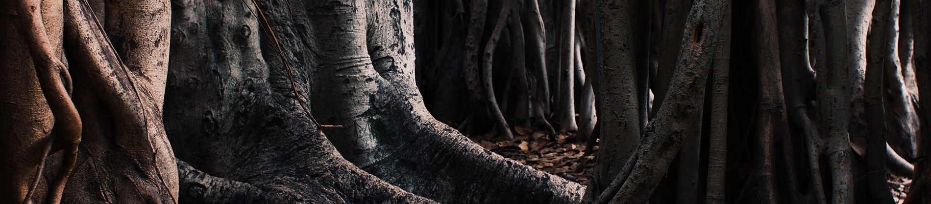 Large tree roots in a forest