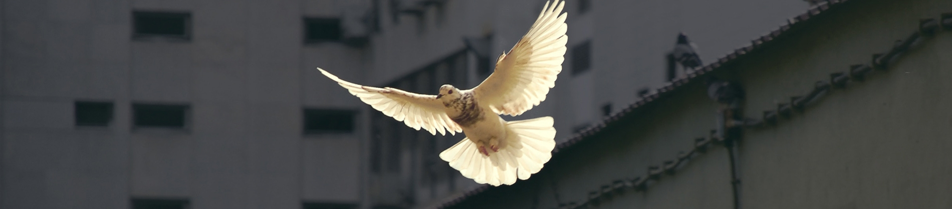 A white dove flying over buildings
