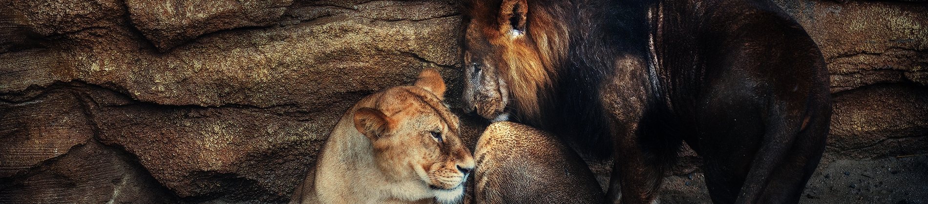 A lion and lioness together in a cave