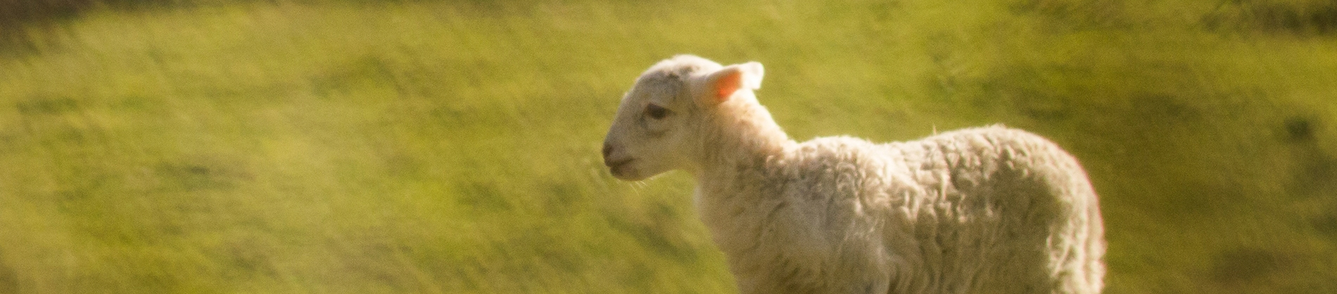 A small lamb in a green field