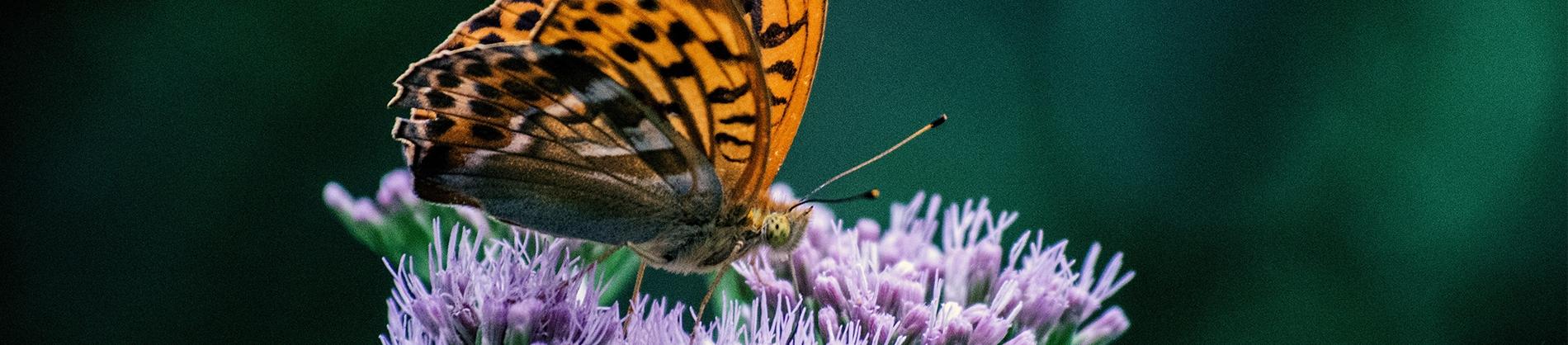 An orange butterfly sat on a purple flower