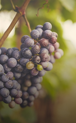 Grapes on a tree
